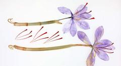 番紅花(サフラン)写真