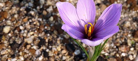番紅花(サフラン)の花